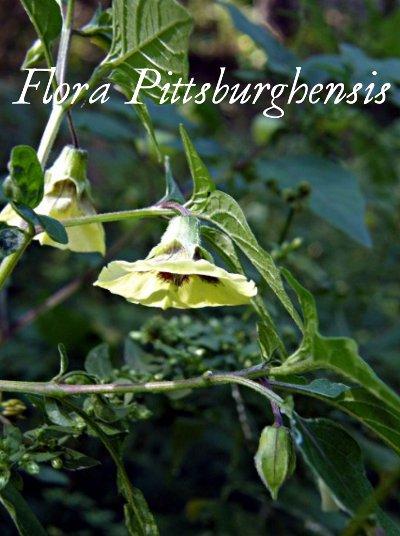 Flora-Pittsburghensis